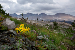 Arnica grows along the trail through Little Five Lakes. The Kaweah Range Ridge looms in the background.  (Chris Jordan-Bloch / Earthjustice)