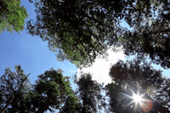 Sun shines through the canopy of California red firs (Abies magnifica) at Timber Gap.