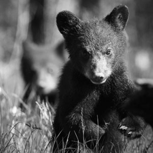 blackbearcub
