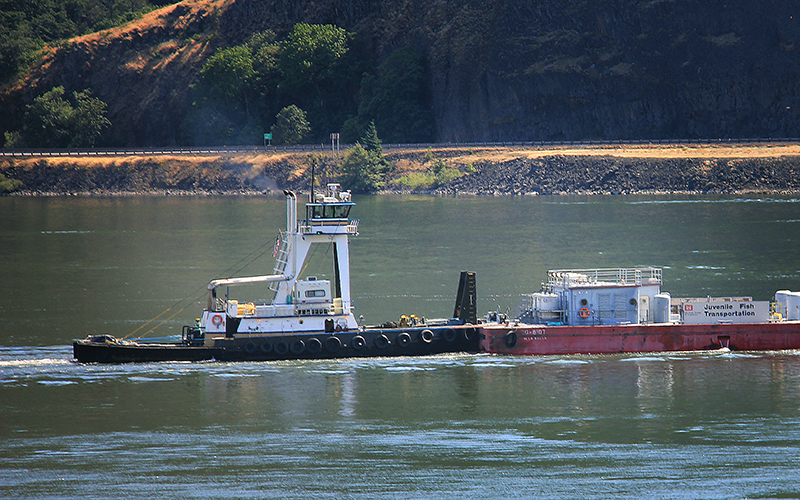 A barge carrying juvenile salmon was spotted just a few miles from the site of the oil train derailment.