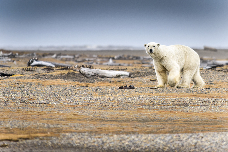 The effects of climate change are visible in the Arctic, where polar bears are vulnerable to extinction due to habitat loss caused by rising global temperatures.