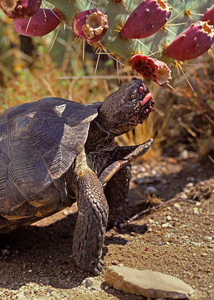 A Sonoran desert tortoise nibbles on a prickly pear cactus. The Rosemont Mine would have dirtied the tortoise's habitat.