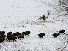 Bison being herded to establish a new population at Fort Peck. (Lynn Donaldson)