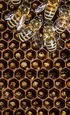 Bees at work on a honeycomb. (Jason P. Smith / Earthjustice)