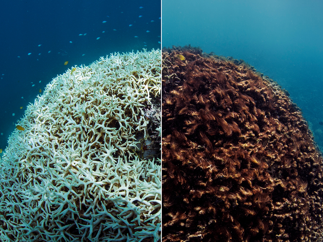 A before and after image of coral bleaching and later dying in March / May 2016, at Lizard Island on the Great Barrier Reef, captured by the XL Catlin Seaview Survey.