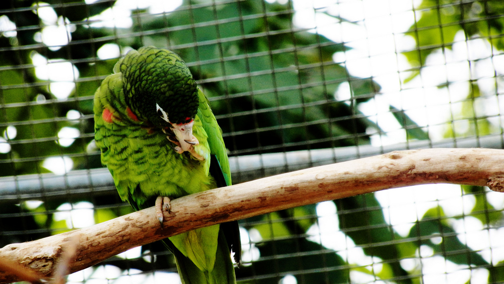 >A Puerto Rican parrot that is part of a breeding program.