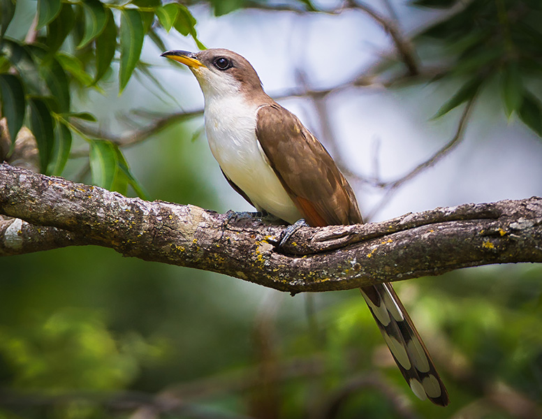 Yellow-billed cuckoos are declining in number, but Cienega Creek provides a safe haven for them.