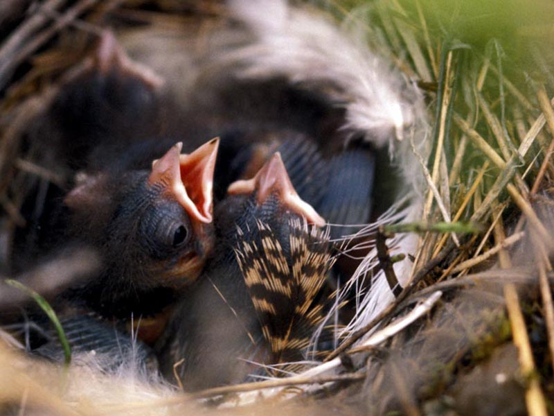 These baby tree sparrows are some of the millions of birds that call the Arctic Refuge home.