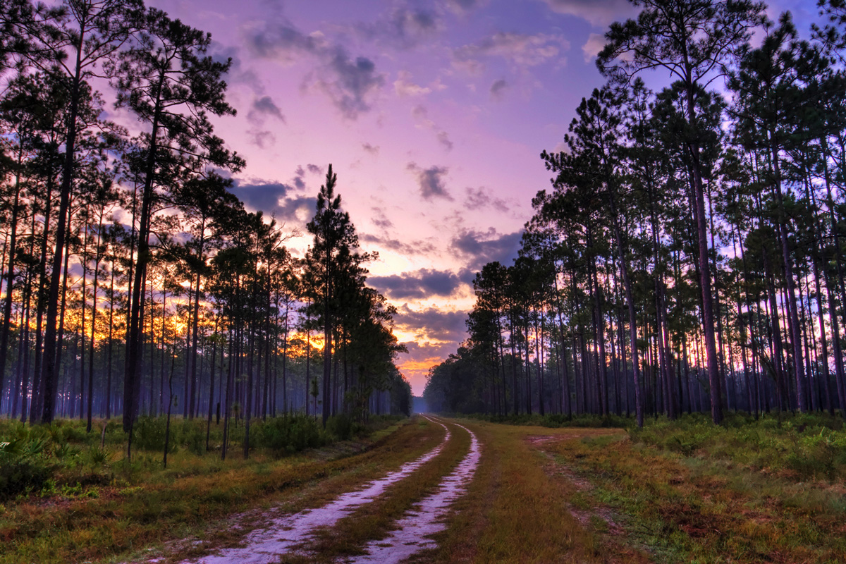 This pine forest is protected in Florida's Appalachicola National Forest.