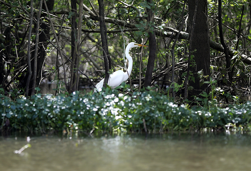A great white heron struts through the Atchafalaya Basin.