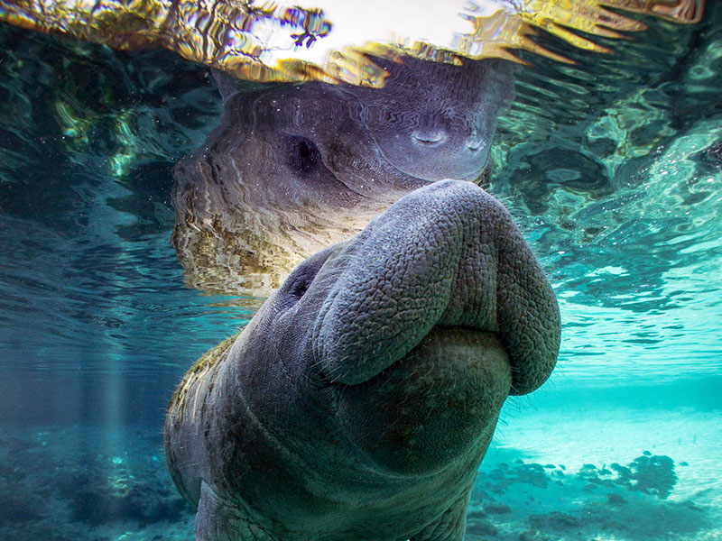 Manatees were brought back from the brink of extinction after receiving protections under the Endangered Species Act.