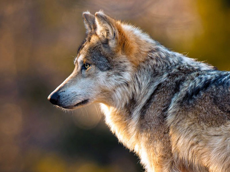 Mexican gray wolves endangered in North America.
