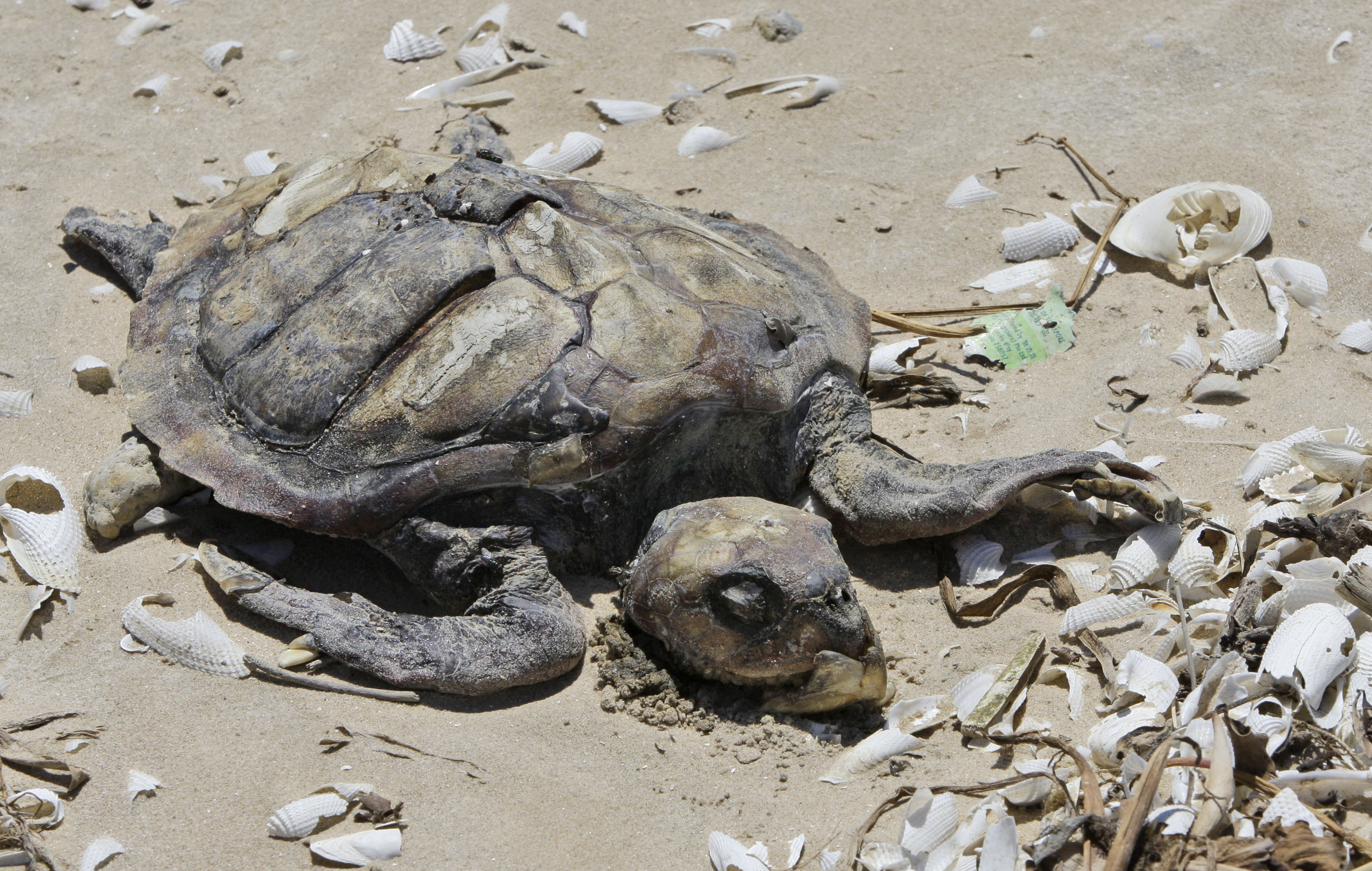 A decomposing Kemp's ridley turtle lies amid broken shells and debris in 2010 on the Bolivar Peninsula, Texas. A third of all marine mammals face extinction from habitat loss and unsustainable fishing, according to the UN report.