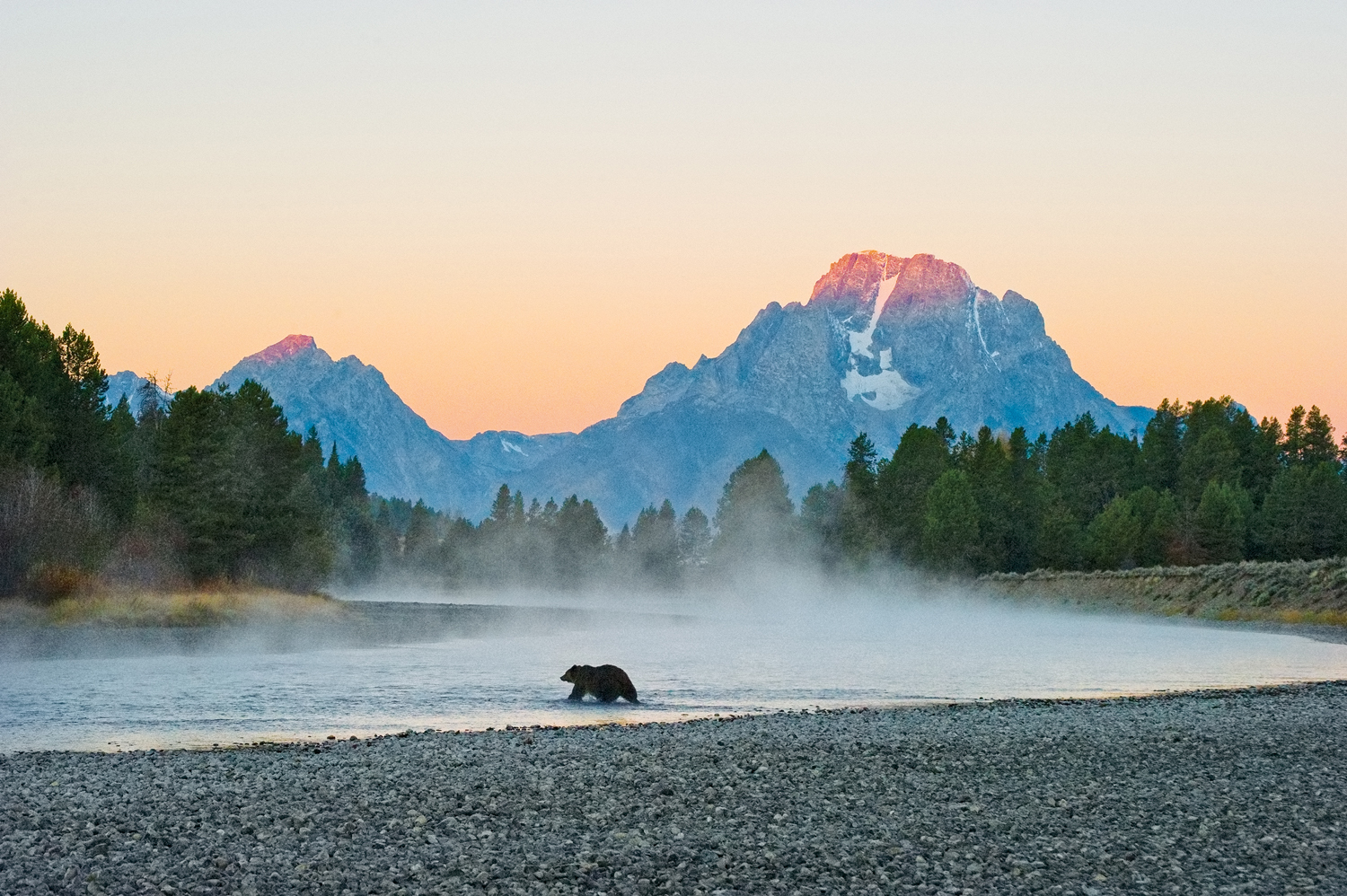 Grizzly bear crosses the Snake River as first Light touches Mount Moran in Grand Teton National Park. Earthjustice litigation anchored in the Endangered Species Act has enabled the restoration of protections for Yellowstone's grizzly bears.