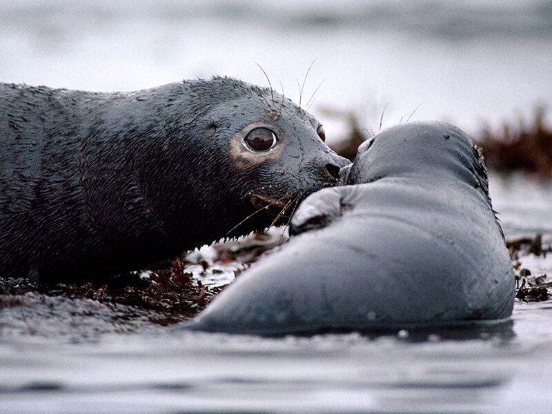 A seal and pup covered with oil, during the Exxon Valdez spill in Prince William.
