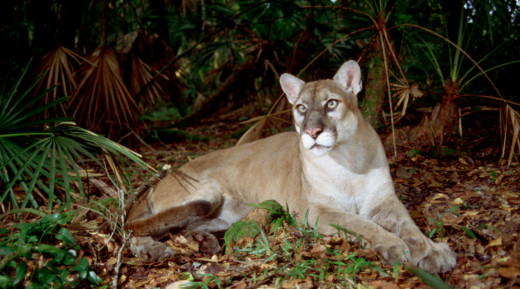 There may be as few as 120 adult Florida panthers left in the wild.