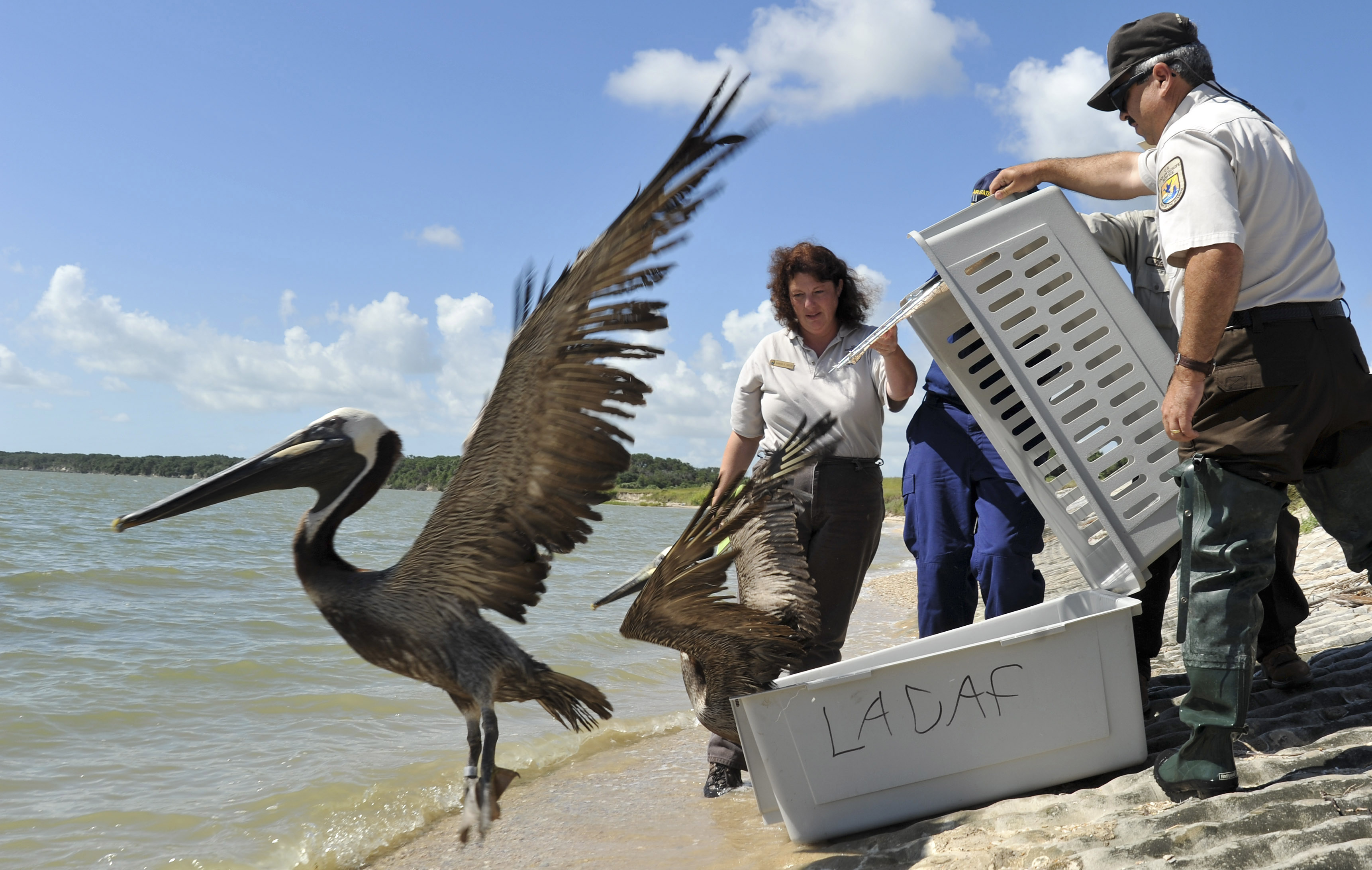 Brown Pelicans Released Into Wild