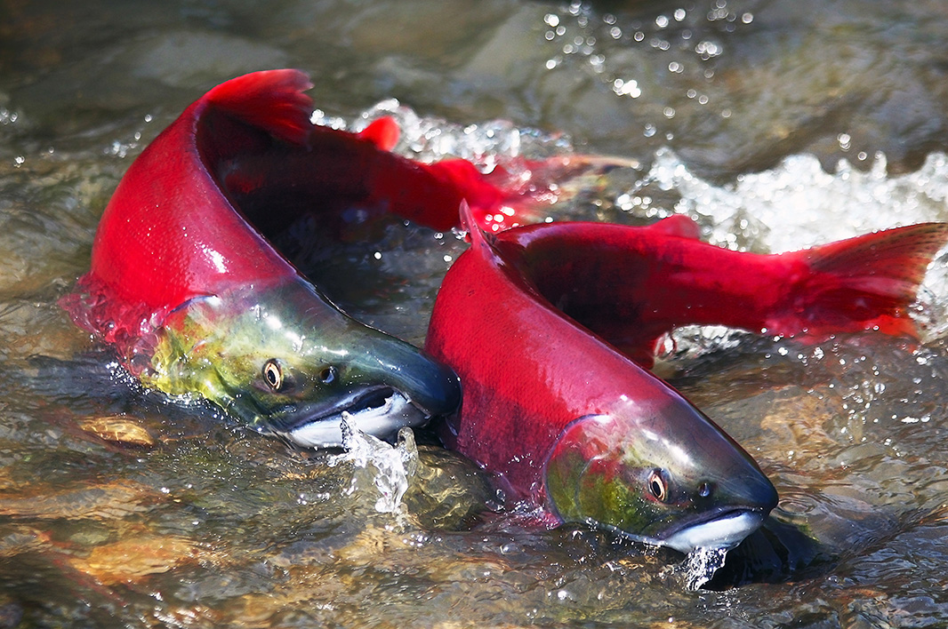 Sockeye salmon swim up a Pacific Northwest river to spawn the next generation.