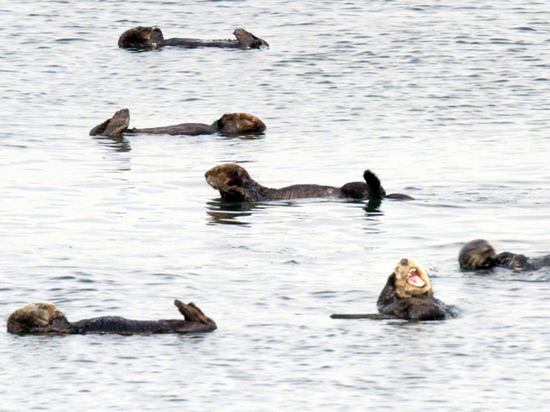 While Southern sea otters have made a comeback, one oil spill of a significant size could wipe out the entire population.