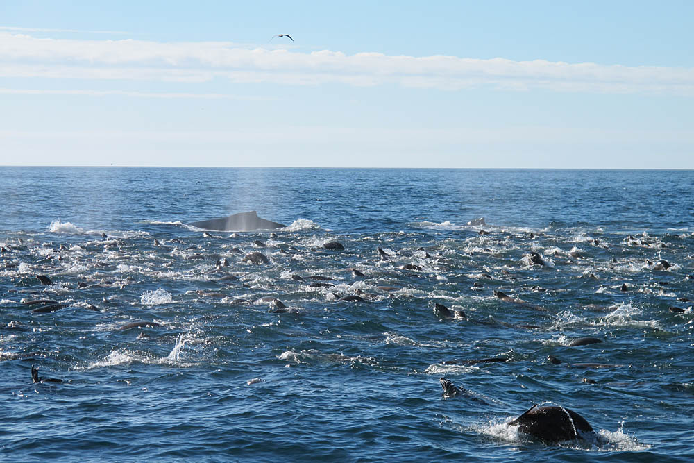 A pod of whales hover near the surface of the water in Monterey Bay.