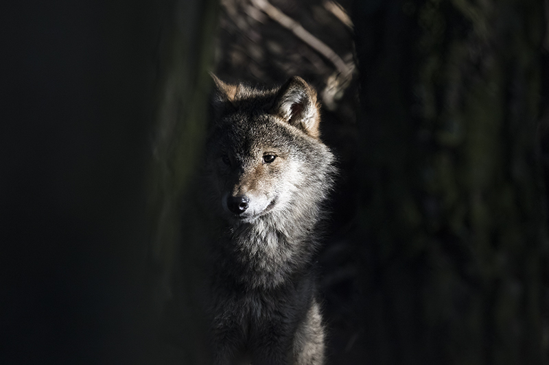 A young gray wolf
