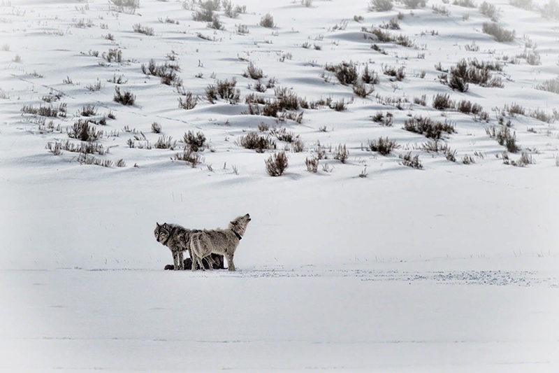 Wolves in Lamar Valley, Yellowstone National Park, Wyo.