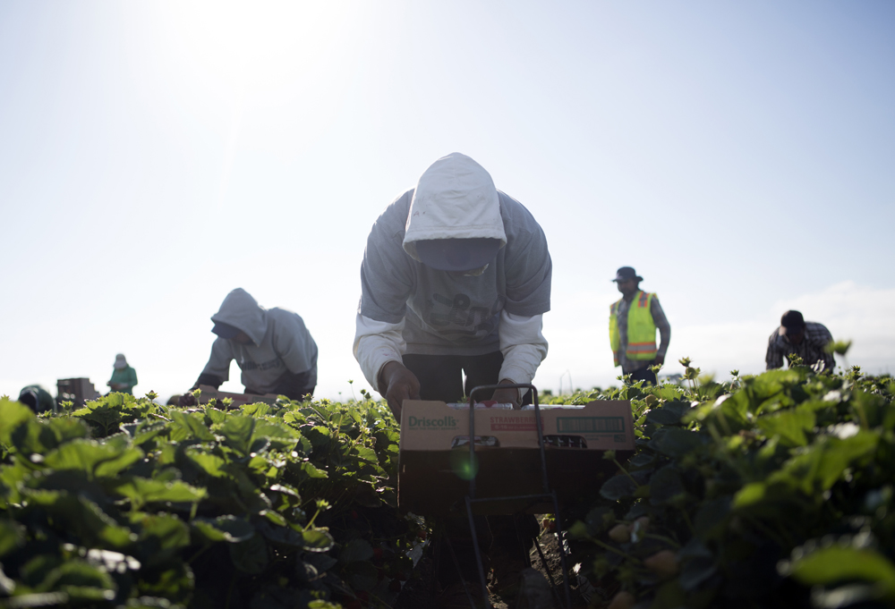 Strawberry harvest in Salinas, Calif.