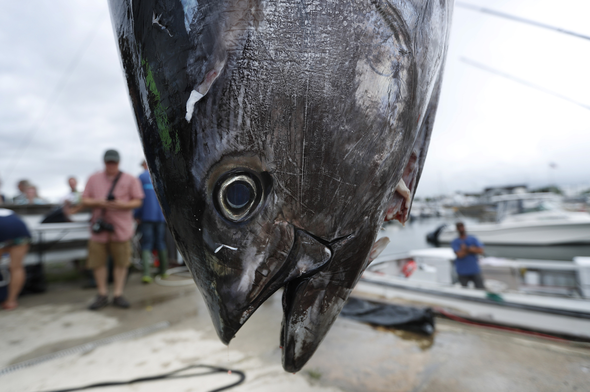 A lifeless Atlantic bluefin tuna hangs on a dock in South Portland, Maine.