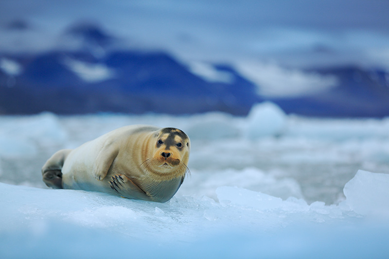 Female bearded seals give birth to a single pup on the Arctic ice in shallow waters, where the pup typically dives in only hours after its birth. An oil spill could contaminate and decimate the seals' food sources, such as arctic cod and octopus.