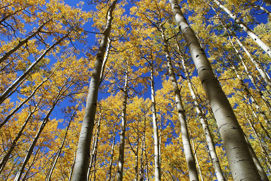 Aspens in the Sunset Roadless Area.