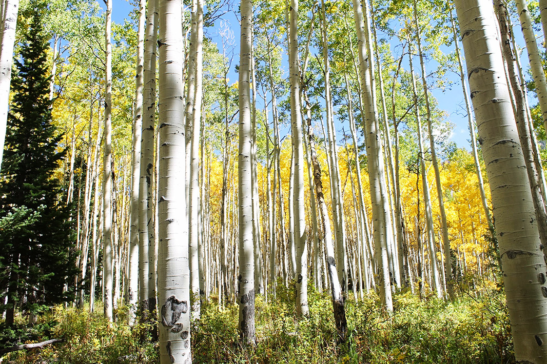 Aspens in the lease expansion area in Sunset Roadless Area.