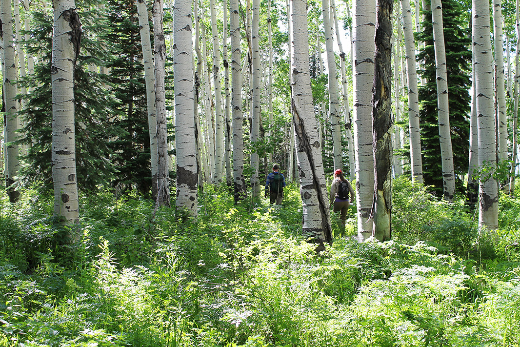 Hikers make their way through aspens in an area likely to be scraped for a drill pad in the Sunset Roadless Area, if the coal mining loophole is reinstated.