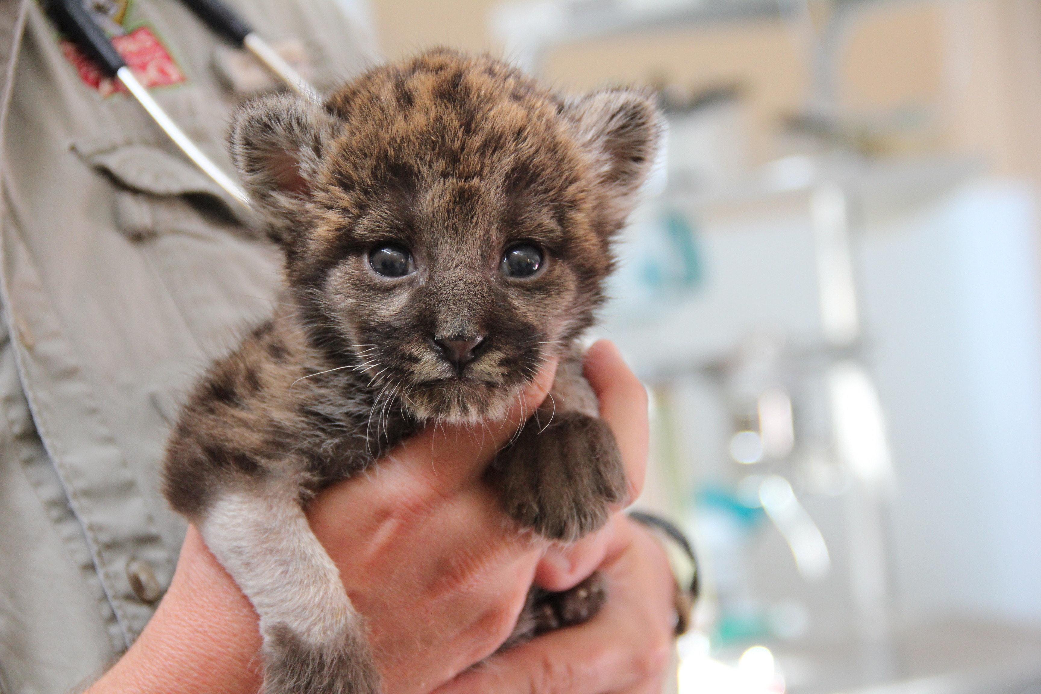 In 2014, Florida Fish and Wildlife rescued this panther kitten.