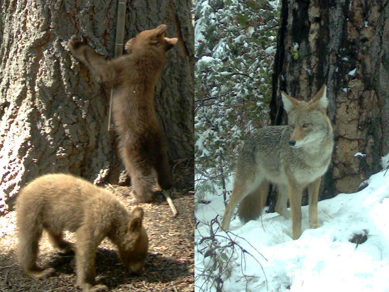 Bear cubs curiously wonder what kind of tree grows 'chicken-in-a-sock'. Even coyotes can't resist. (SNAMP)