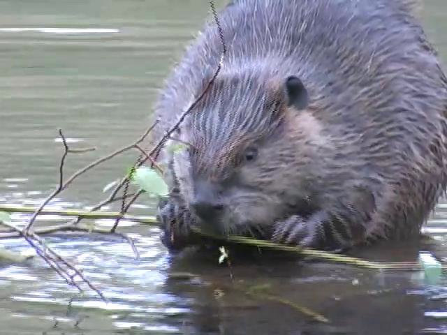A San Pedro beaver. (Courtesy of San Pedro River Educational)