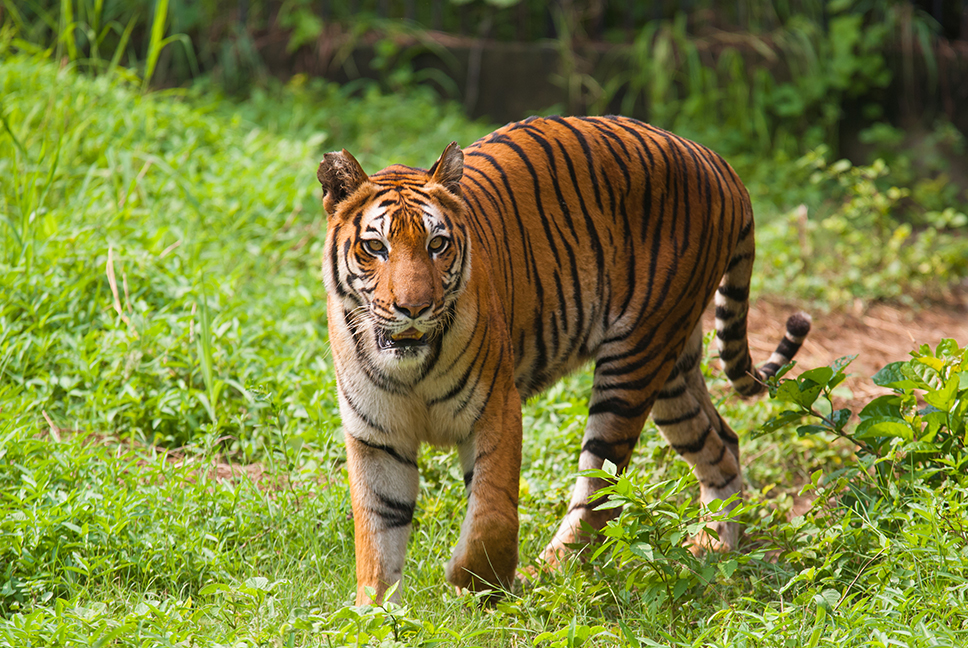 A Bengal tiger photographed in the Sundarbans.
