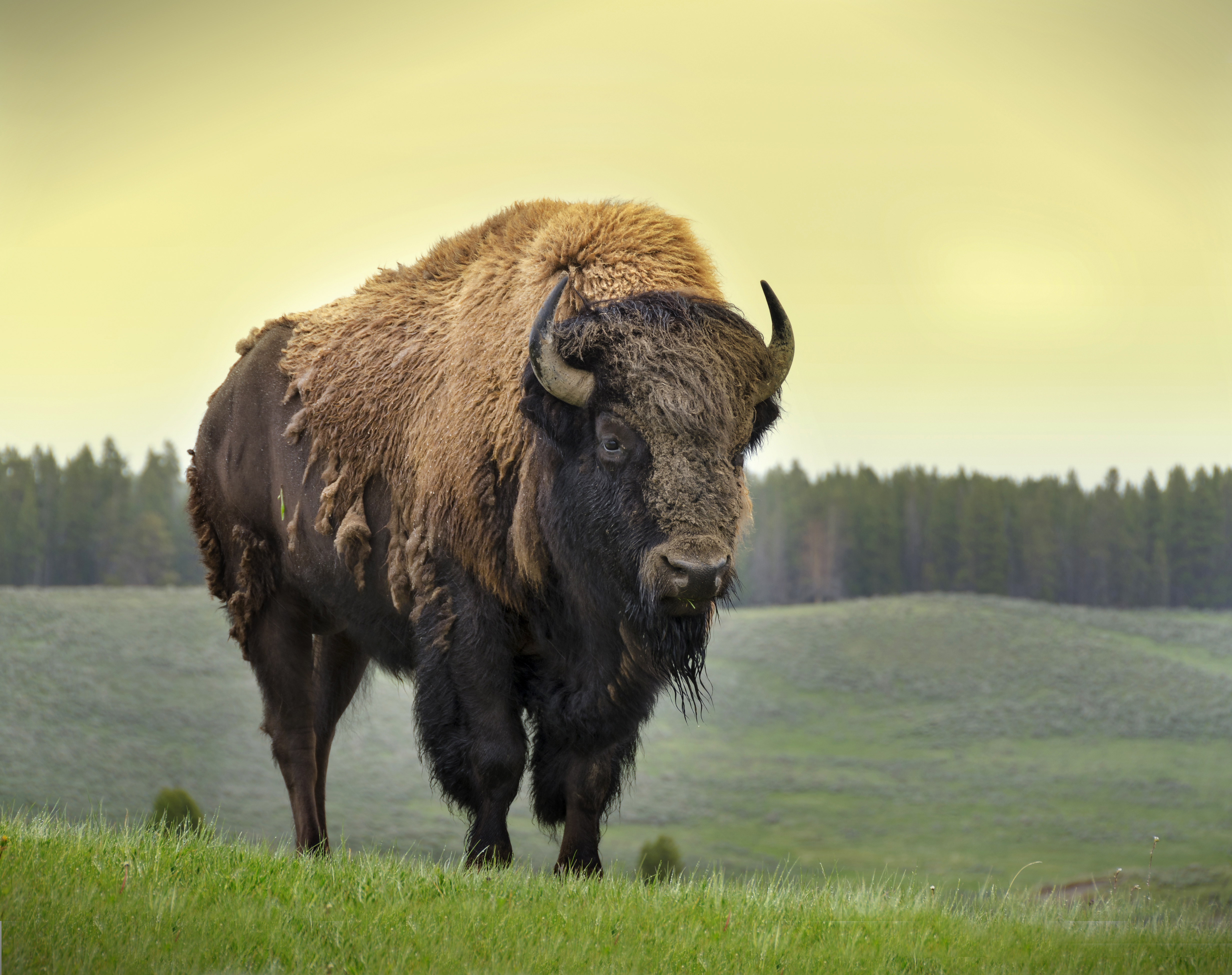 A Bison Eats Top Four Reasons the A...