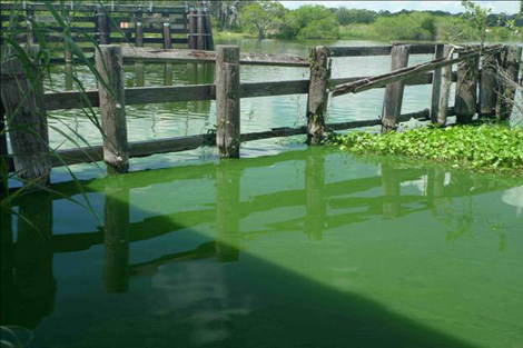 Water in the Caloosahatchee River during the most recent algae outbreak. Photo taken near the bridge at Alva, Florida, June 13, 2011. (Sanibel-Captiva Conservation Foundation)