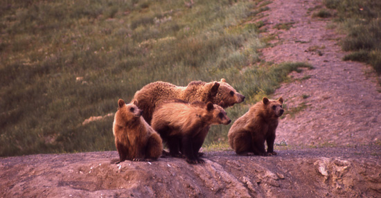 Grizzly sow and cubs. (NPS)