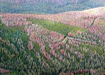 Aerial view of the devastation caused by the mountain pine beetle. (USDA)