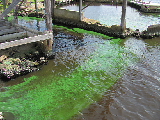 Algae outbreak at St. Lucie River, August 2013. (Dick Miller)
