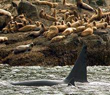 enemies in the wild, allies in the court. (Lance Barrett-Lennard, Alaska Fisheries Science Center, NOAA)