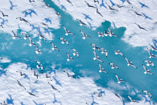 Kittiwakes fly over the Chukchi Sea. (Florian Schulz / visionsofthewild.com)