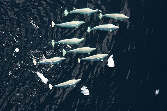 Beluga pod in the Chukchi Sea. (Laura Morse / NOAA)