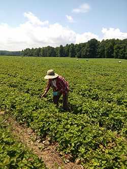 Farmworkers pick strawberries in Wayne County, NY. (Courtesy of Alina Diaz / Alianza Nacional de Campesinas)