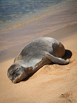 Monk seal. (Trudy Simmons / Shutterstock)