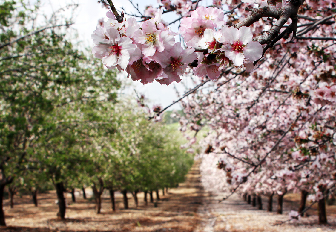 A blooming orchard where bees seek out pollen.