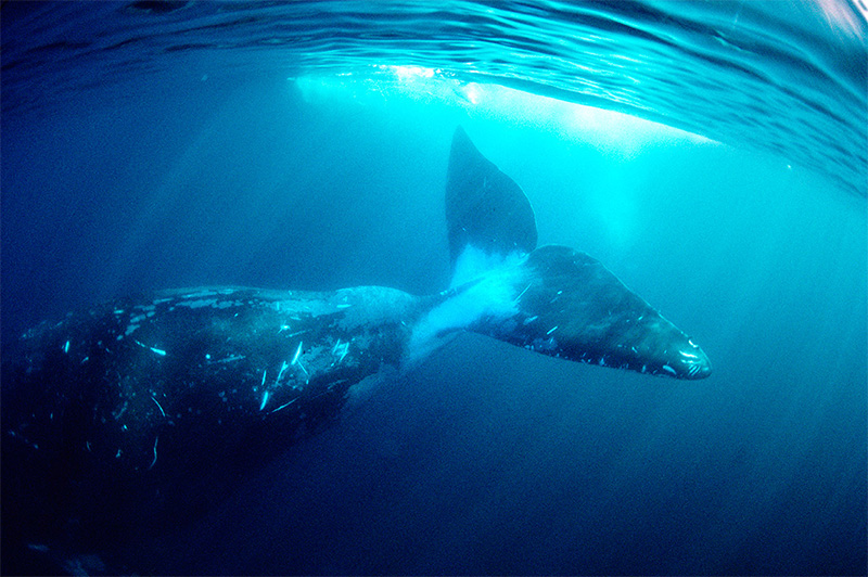 Bowhead whales predominantly live in the Arctic, where they thrive in shallow waters just beneath sheets of ice for the bulk of the year.