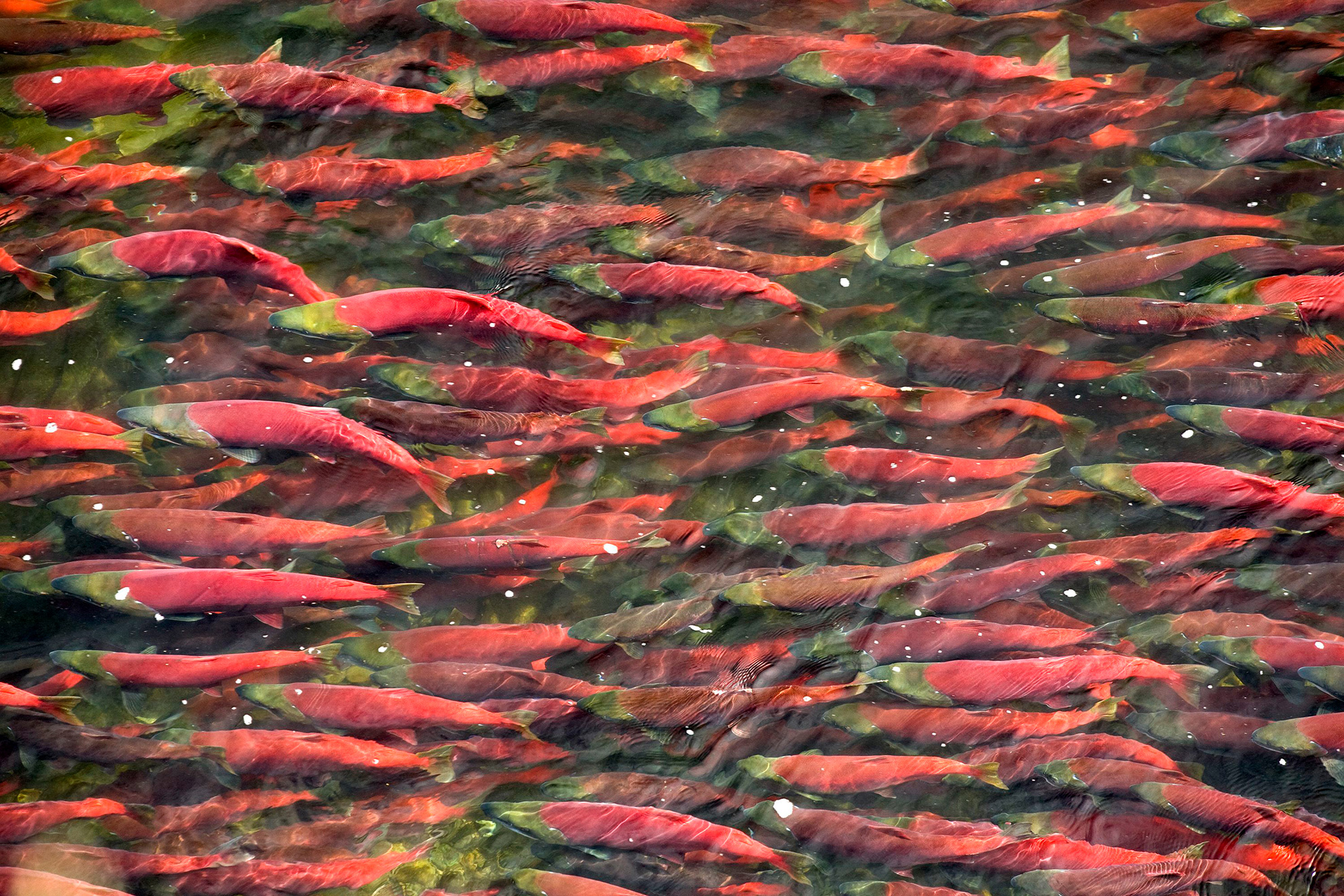 Sockeye salmon run in the Bristol Bay watershed.