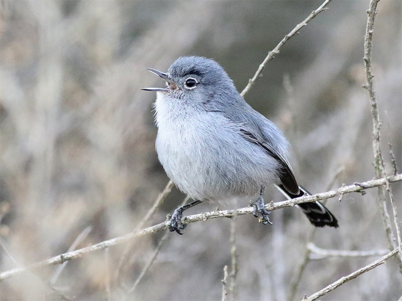 Court Upholds Protections for Rare California Gnatcatcher
